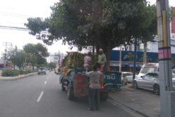 ¡Plátanos por 7 llaves y un tubo…! Estaban a 24 y 25 pesos la unidad; ahora se venden a 5…