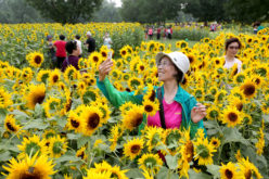 Estallaron los girasoles en el Parque Olímpico Forestal de Beijing…