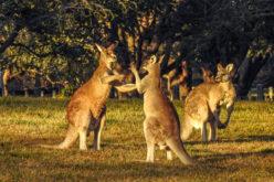Juego de canguros…