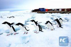 Los pingüinos andan por la Antártida desde hace 14 mil 600 años, dicen científicos chinos