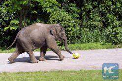 """Al elefante le dio con """"jugar"""" con vehículos en una autopista…"""