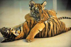 China prohíbe uso y comercialización de tigres y rinocerontes, y de sus productos
