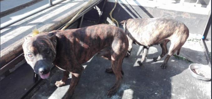 """Los perros que tenía vendedor de drogas en Baní para """"chubarlos"""" a agentes de la Policía"""