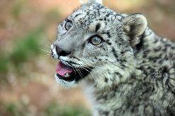 En China hay protección especial para los leopardos de las nieves