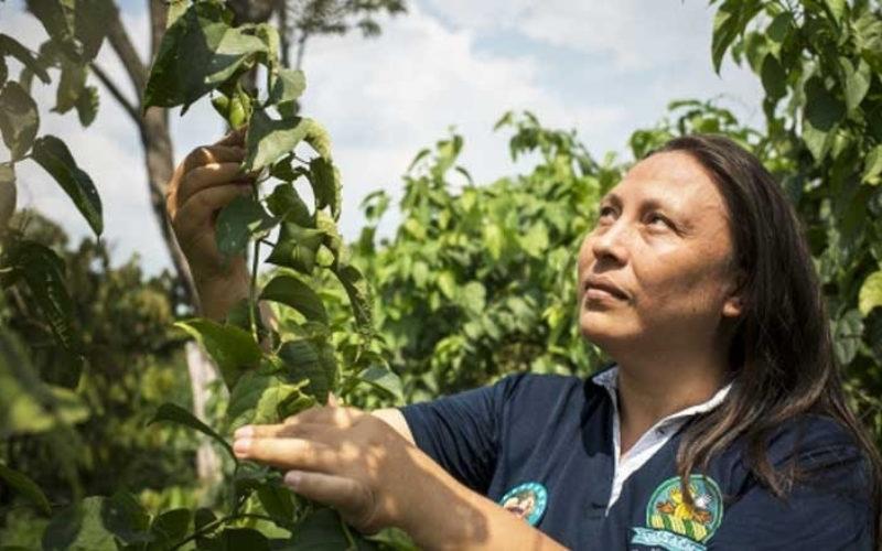 En Colombia impulsan la producción de sacha ichi, una economía basada en la naturaleza