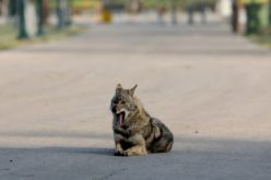 Calles y otros espacios urbanos de Israel con animales salvajes ante aislamiento de personas por coronavirus